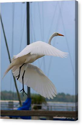 Egret In Flight Canvas Print by Debra Forand