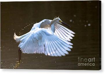Egret In Flight II Canvas Print by Ursula Lawrence