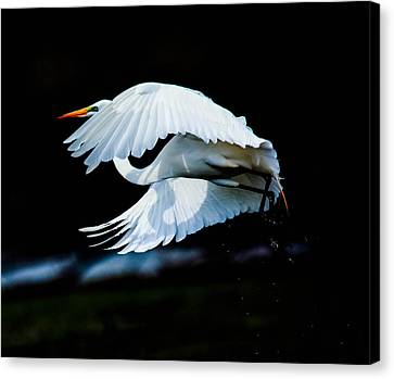 Egret In Flight Canvas Print