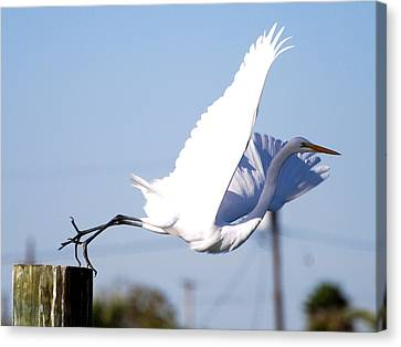 Canvas Print featuring the photograph Egret In Flight by Linda Cox