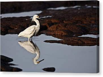 Canvas Print featuring the photograph Egret In Tide Pool  Mg_9631 by David Orias