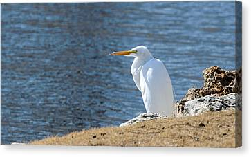 Egret Canvas Print by John Johnson