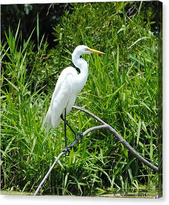 Egret Perching On Branch Canvas Print by Dan Williams