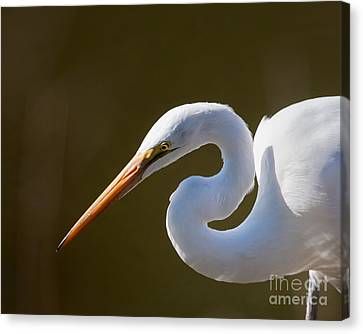 Egret Portrait-2 Canvas Print