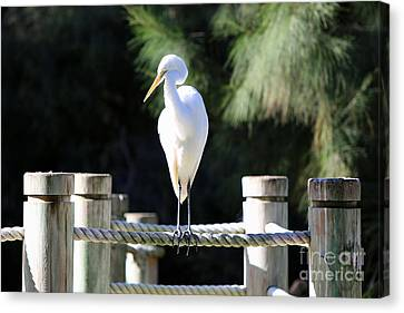 Egret Canvas Print by Shannon Rogers
