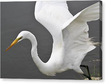 Egret Take Off Canvas Print by Paulette Thomas