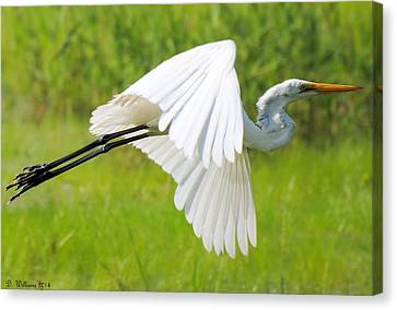 Egret Takes Flight Canvas Print by Dan Williams