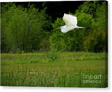 Egret's Flight Canvas Print by Liz Masoner