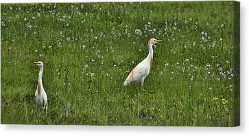 Egrets In Field Canvas Print by Shannon Story