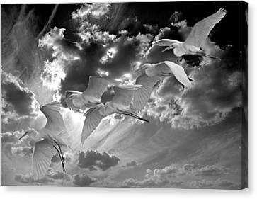 Egrets In Succession Bw Canvas Print