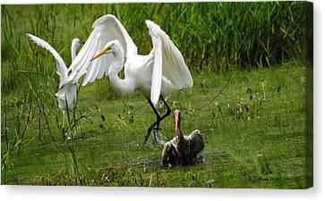 Egrets Taking Flight Canvas Print