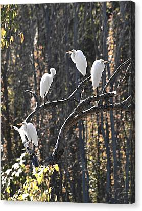 Egrets Canvas Print by Valerie Wolf