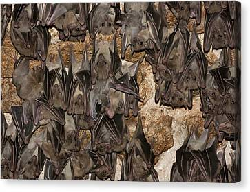Egyptian Fruit Bat Rousettus Aegyptiacus Canvas Print