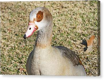 Egyptian Goose  Canvas Print by Shoal Hollingsworth