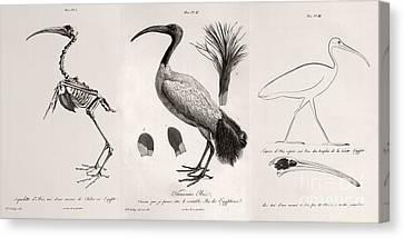 Egyptian Ibis, Cuvier Plates, 1812 Canvas Print
