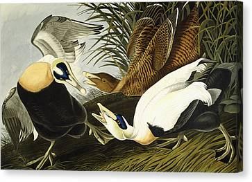 Eider Ducks Canvas Print by John James Audubon