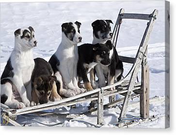 Eight Week Old Iditarod Husky Pups Sit Canvas Print by Jeff Schultz
