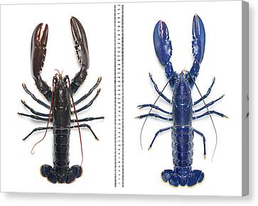 Electric-blue European Lobster Canvas Print by Natural History Museum, London