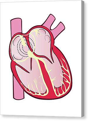 Electrical Conduction System Of The Heart Canvas Print