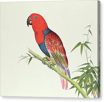 Electus Parrot On A Bamboo Shoot Canvas Print