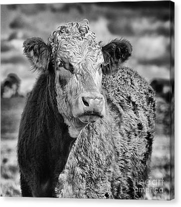 Elegant Cow Canvas Print
