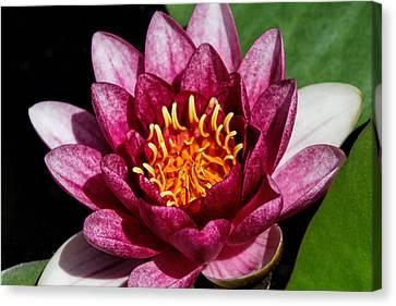 Elegant Lotus Water Lily Canvas Print by Denyse Duhaime