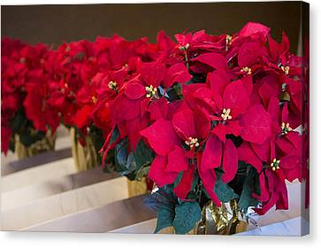Canvas Print featuring the photograph Elegant Poinsettias by Patricia Babbitt
