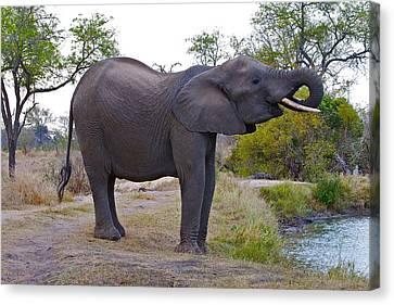 Elephant Drinking Canvas Print