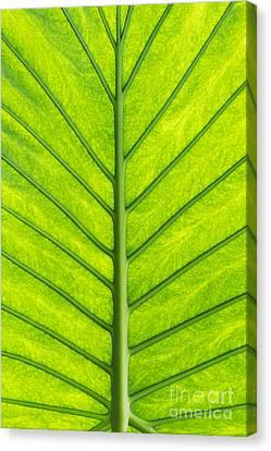 Elephant Ear Taro Leaf Pattern Canvas Print by Tim Gainey