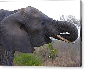 Elephant Having A Drink Canvas Print