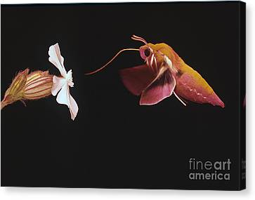 Highspeed Canvas Print - Elephant Hawk-moth by Hermann Eisenbeiss