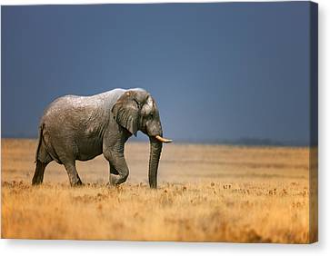 Elephant In Grassfield Canvas Print