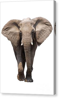 Elephant Isolated Canvas Print by Johan Swanepoel