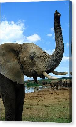 Elephant Posing Canvas Print