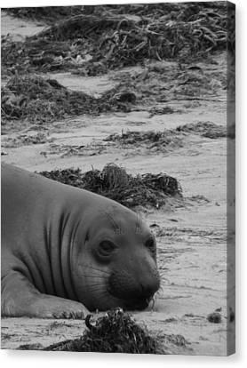 Elephant Seal Conteplation Canvas Print by Gwendolyn Barnhart