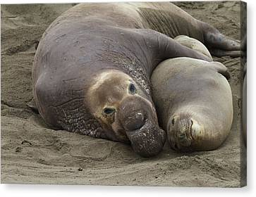 Elephant Seal Couple Canvas Print
