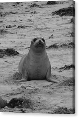Elephant Seal Canvas Print by Gwendolyn Barnhart