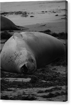 Elephant Seal Laughter Canvas Print by Gwendolyn Barnhart
