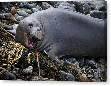 Elephant Seal Of Ano Nuevo State Reserve Canvas Print by Priscilla Burgers