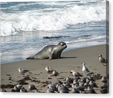 Canvas Print featuring the photograph Elephant Seal On Piedras Blancas Beach by Jan Cipolla
