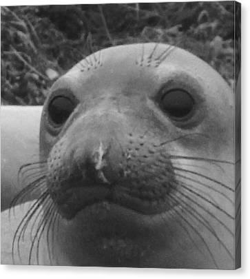 Elephant Seal Smirk Canvas Print by Gwendolyn Barnhart