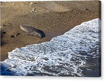Elephant Seal Sunning On Beach Canvas Print by Garry Gay
