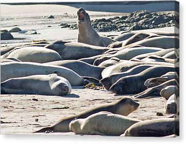 Elephant Seals At Ano Nuevo State Park California Canvas Print by Natural Focal Point Photography