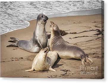 Elephant Seals Canvas Print - Elephant Seals by Colin and Linda McKie