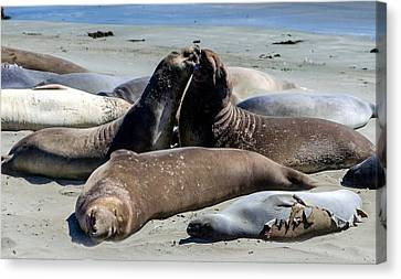 Elephant Seals Canvas Print by Mike Ronnebeck