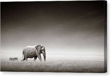 White Canvas Print - Elephant With Zebra by Johan Swanepoel