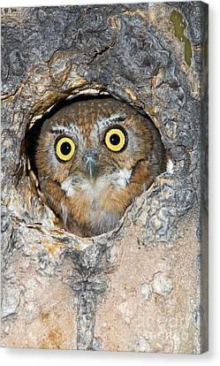 Elf Owl Nesting In Tree Cavity Canvas Print by Craig K Lorenz