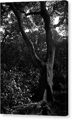 Canvas Print featuring the photograph Elizabethan Gardens Tree In B And W by Greg Reed