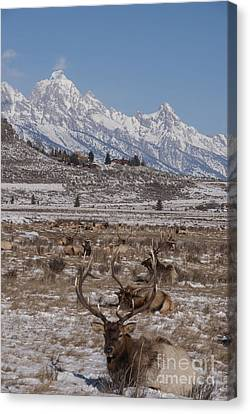 Elk And The Grand Tetons Canvas Print