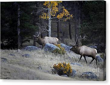 Canvas Print featuring the photograph Elk Battle Stalk by Nava Thompson
